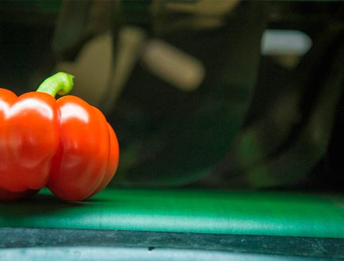 Green flat conveyor belt used for the transport of tomatoes