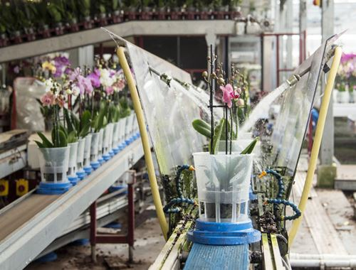 Conveyor belts in wateringline for orchids
